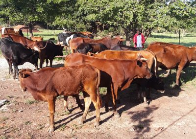 Κτηνοτροφία στο Κολουέζι