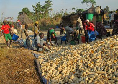 Συγκομιδή καλαμποκιού στη Γκάρουα του Β. Καμερούν